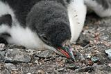 Gentoo penguin chick 7