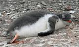 Gentoo penguin chick 8