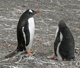 Gentoo penguin and chick 2