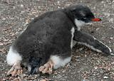 Gentoo penguin chick 13