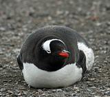 Gentoo penguin 11