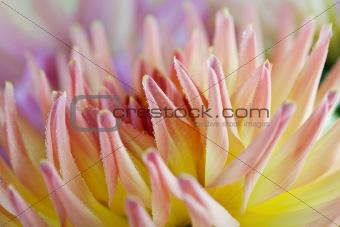 Dahlia flower with dew drops