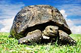 Mature tortoise walking on grass