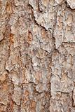 Bark of pine tree - texture