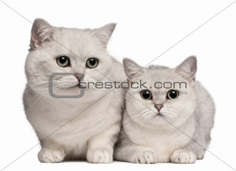 British Shorthair cats, 1 and 6 years old, in front of white background