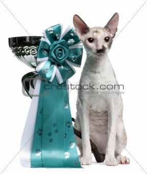 Cornish Rex cat, 7 months old, sitting next to prize in front of white background