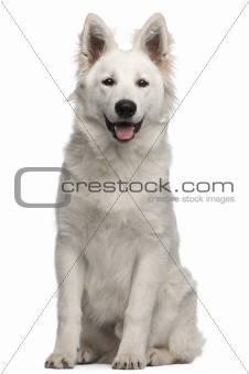 Berger Blanc Suisse puppy, 6 months old, sitting in front of white background