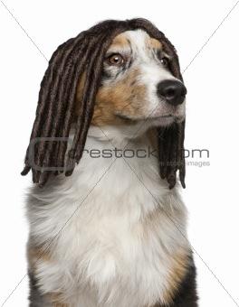 Australian Shepherd puppy wearing a dreadlock wig, 5 months old, in front of white background