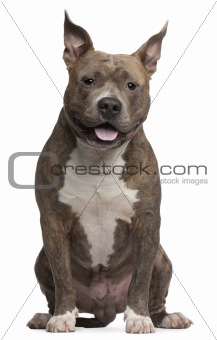 American Staffordshire Terrier, 25 months old, sitting in front of white background