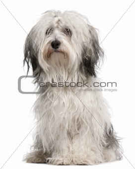 Cross-breed dog, sitting in front of white background