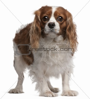 Cavalier King Charles Spaniel, 3 years old, standing in front of white background