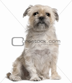 Griffon Bruxellois, 4 years old, sitting in front of white background