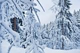 winter forest in Harz mountains, Germany