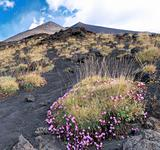 Flowers at the foot of the volcano