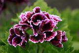Rare Flower - Butchart Gardens, Victoria, BC, Canada