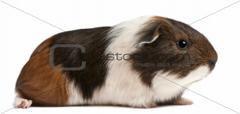 Guinea pig sitting in front of white background