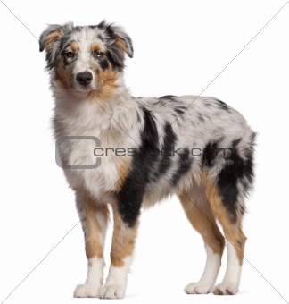 Australian Shepherd dog standing in front of white background