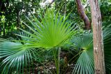 chit palm tree in jungle rainforest in Mayan Riviera