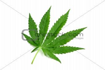 One hemp leaf