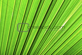 Beautiful green palm leaf background with backlighting