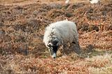 Sheep grazing on moorland