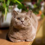 British shorthair lilac cat