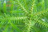 Nolfolk island pine