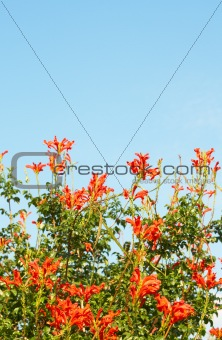 Cape Honey (Melianthus) flowers