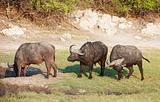 Buffalo (Syncerus caffer) in the wild