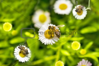 macro bee on camomile