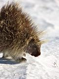 Porcupine in winter
