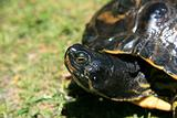 Terrapin - Beacon Hill Park, Victoria, BC, Canada