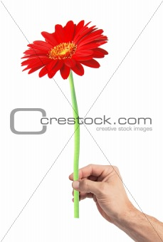 Beautiful red gerbera in man's hand isolated on white background