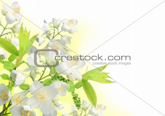 Beautiful spring Jasmine blossom border