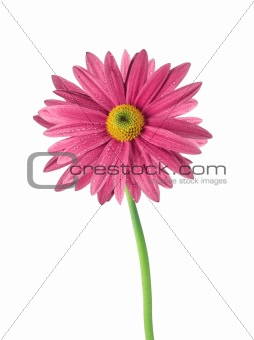 beautiful pink chrysanthemum flower isolated on white background