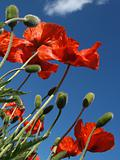 Red Poppies in May, from Below