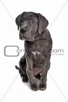 Cane Corso or Italian Mastiff