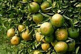raw orange on tree