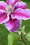 clematis flower in green grass background