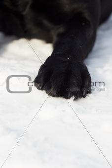 Black labrador paw on snow, closeup shot.