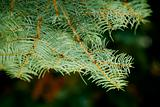 Close up of spruce branch, horizontal orientation.