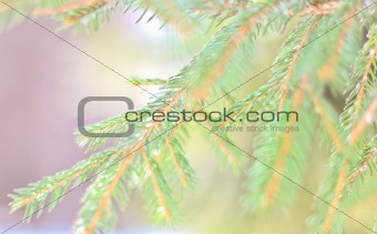 background with spruce branches