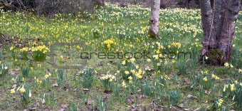 Blanket of fresh Spring daffodil flowers in woodland landscape