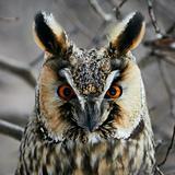 Screech-owl portrait.