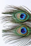 Two peacock feathers on background