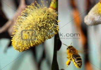 Bee and pussy-willow