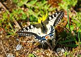 Swallowtail on dandelion