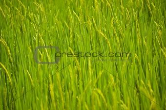 Green rice seedlings.