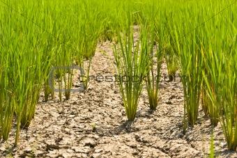 Green rice.