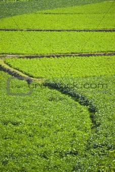 Green crops.